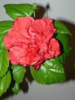 Китайская роза дома