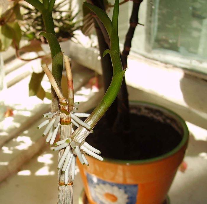 Мой фаленопсис был в цвету, довольно долгое время и теперь, похоже, формируется новый цветок! Будет ли он расти, если я его пересажу и какой тип почвы лучше?