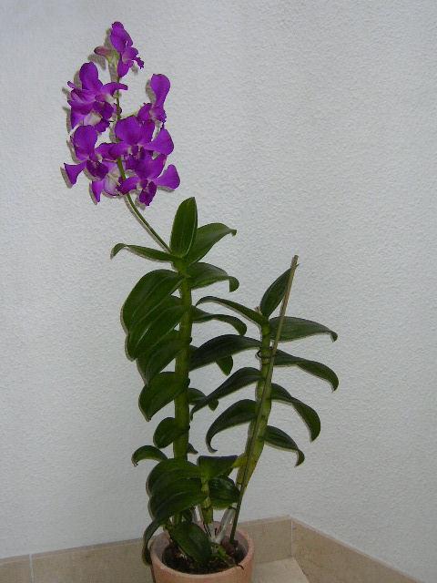 Мне подарили орхидею, которая называется Dendrobium Phalaenopsis. Я запутался. Этот тип фаленопсис и как я могу за ним ухаживать?