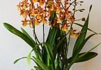 Уход за орхидеей ONCIDIUM