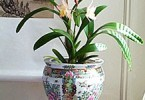 Уход за орхидеей Cattleya