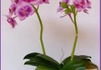 Я выращиваю мои орхидеи фаленопсис в доме, но они ни когда не цвели. Что я могу сделать?