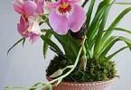Уход за орхидеей Miltonia