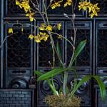 Уход за орхидеей Odontoglossum