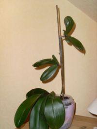 Что делать, когда моя орхидея фаленопсис отцвела?