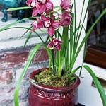 Уход за орхидеей CYMBIDIUM