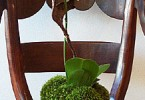 Уход за орхидеей Phalaenopsis