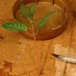Размножение фуксии черенкованием