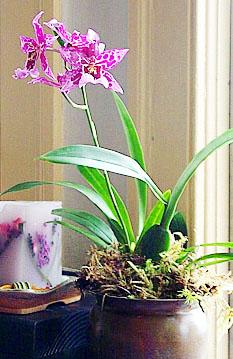 Уход за орхидеей VUYLSTEKEARA