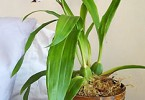 Уход за орхидеей ZYGOPETALUM