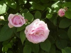 uhod za rozami