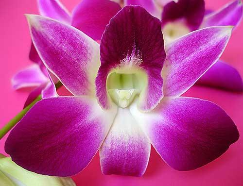 Orchid2 300x229 цветы орхидея уход