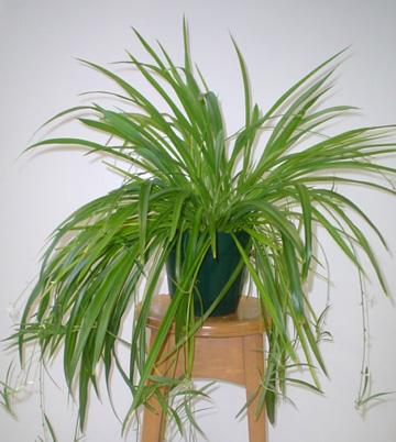268x300 комнатное растение хлорофитум