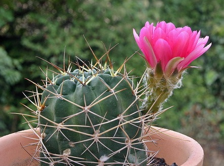 Рипсалис уход в домашних условиях сорта и фото кактуса