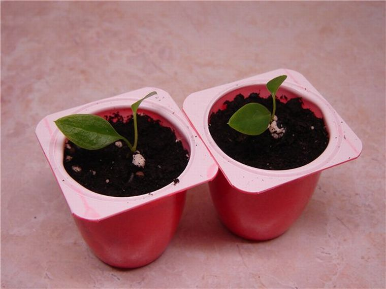 Семена антуриума