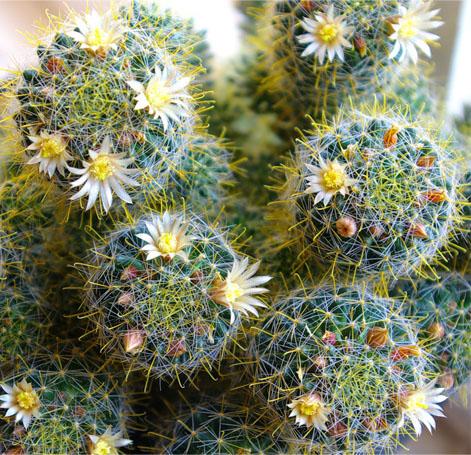 кактусы литопсы уход посадка почва свет