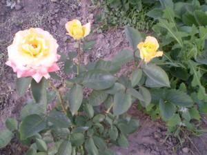Размножение роз осенью