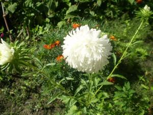Описание цветка астра
