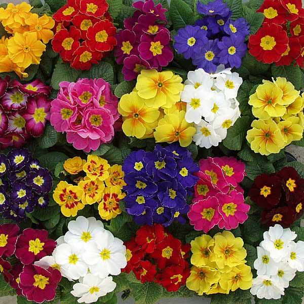 Цветок примула фото уход комнатная