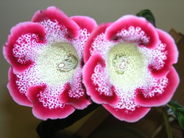 Цветы глоксинии с