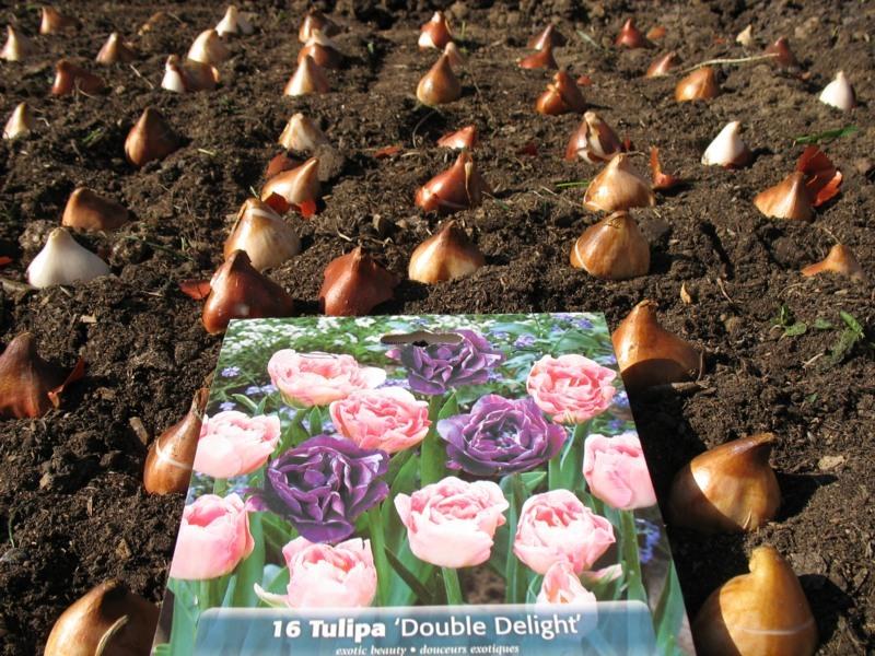 Когда сажать тюльпаны под осень в спб 98