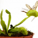 400 cnp venus flytrap mosquito pot 150x150 Уход за венериной мухоловкой