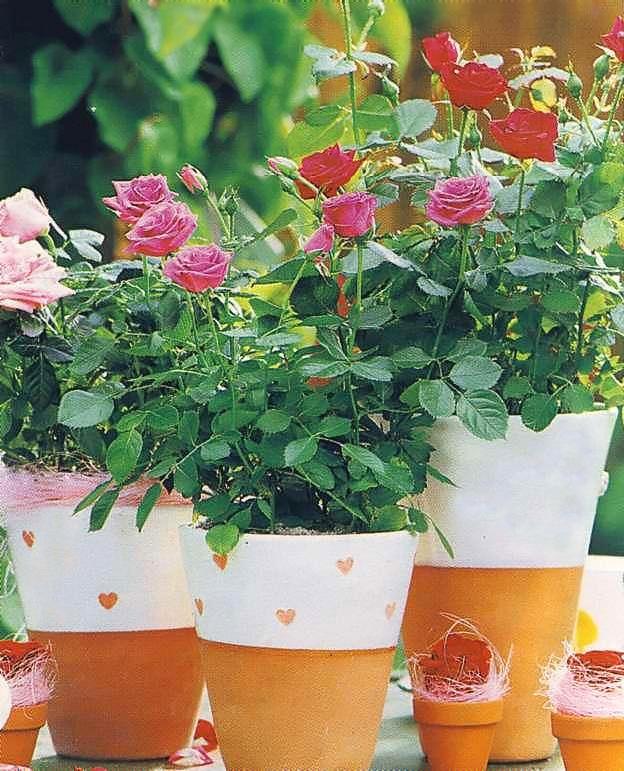 Розы миниатюрные посадка и выращивание в комнатных условиях 10