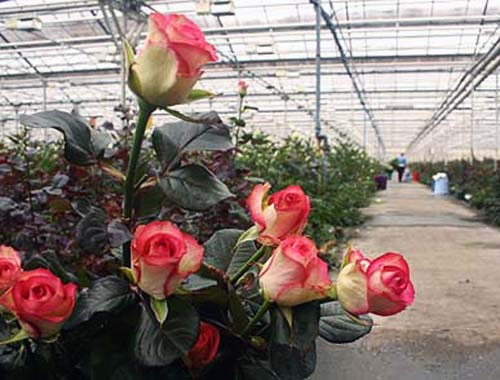 Выращивание розы на срезку в теплице 82