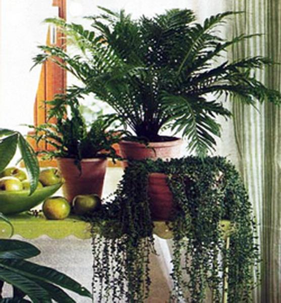 большие комнатные цветы фото и описание
