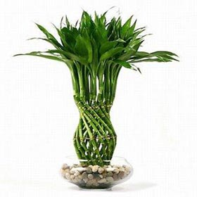 Комнатный цветок пальма