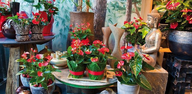 Уход за цветущим антуриумом в домашних условиях