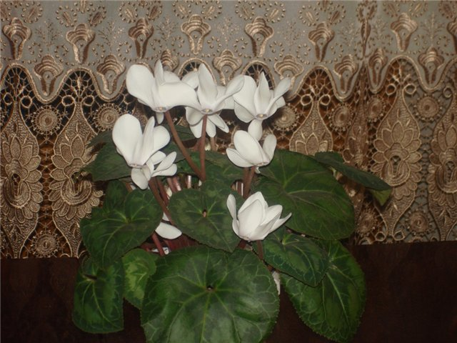из бисера: калерия фото комнатное растение, цветы комнатные кротон.