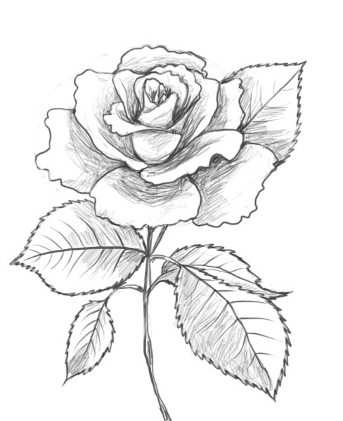 роза. how to draw a rose12