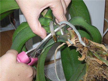 Орхидеи как они размножаются в домашних условиях