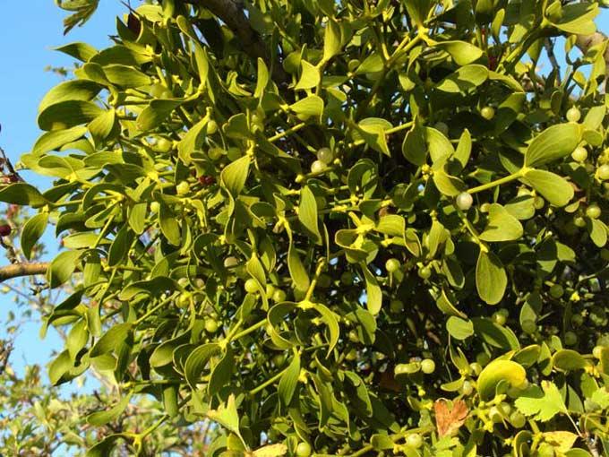 растение омела