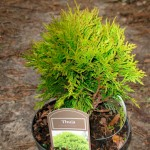 Thuja-occidentalis-Miriam