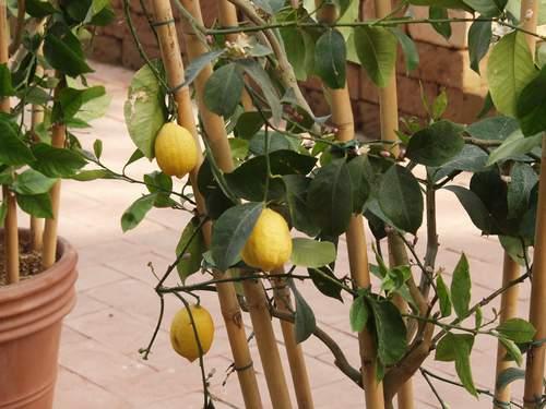 Как и когда черенковать лимон в домашних условиях