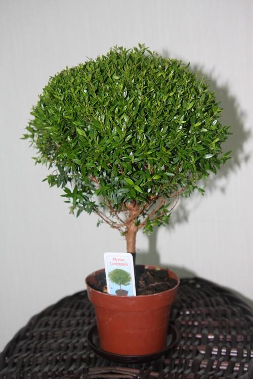 Миртовое дерево в домашних условиях