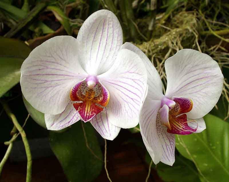 Phalaenopsis 03 300x238 phalaenopsis 03
