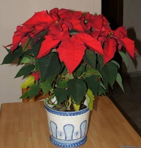 Цветок комнатный рождественская звезда