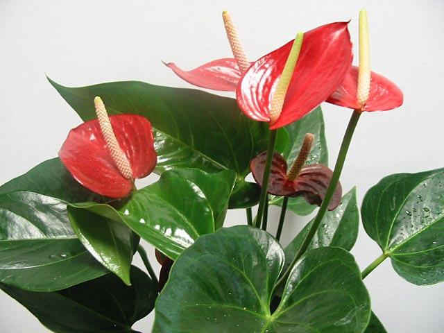 спатифиллум растение фото