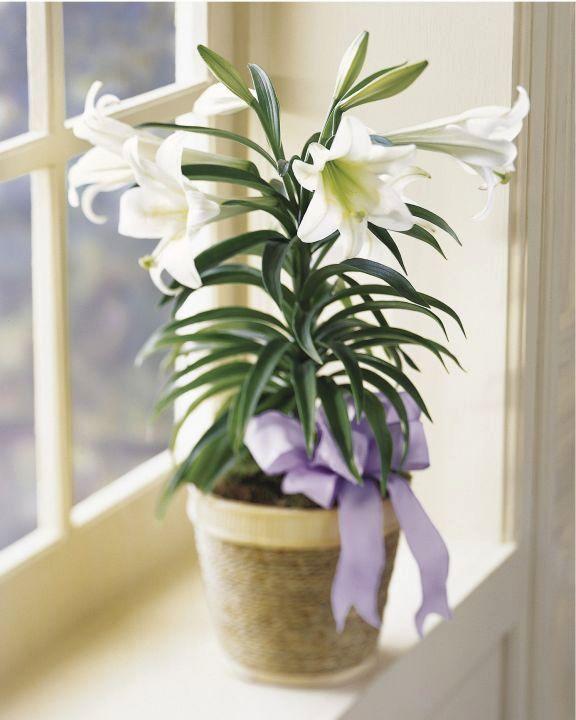 Цветок хоста  комнатная