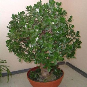 Толстянка (денежное дерево), уход