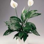 Почему листья спатифиллума сохнут на концах. Уход за растением.