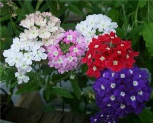 Однолетние цветы для сада