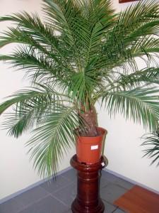 Проблемы при пересадке финиковой пальмы