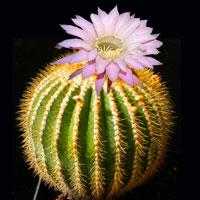 Почему кактус желтеет. Уход за растением.