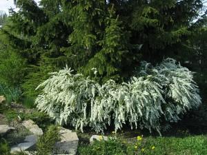 Садовые растения и цветы