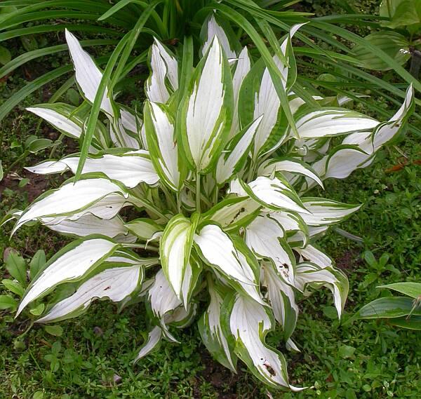 Enc 6202 300x284 купить садовые растения