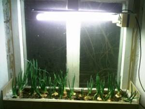 Как вырастить лук дома